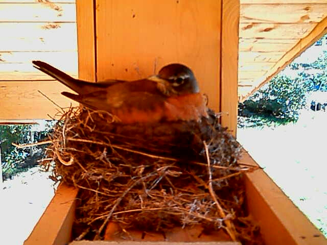 Rafaela the robin brooding on her nest prior to hatch.